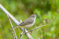 Palm Warblers (Dendroica palmarum) are common winter migrants in Cuba. Guanahacabibes Peninsula, Cuba.