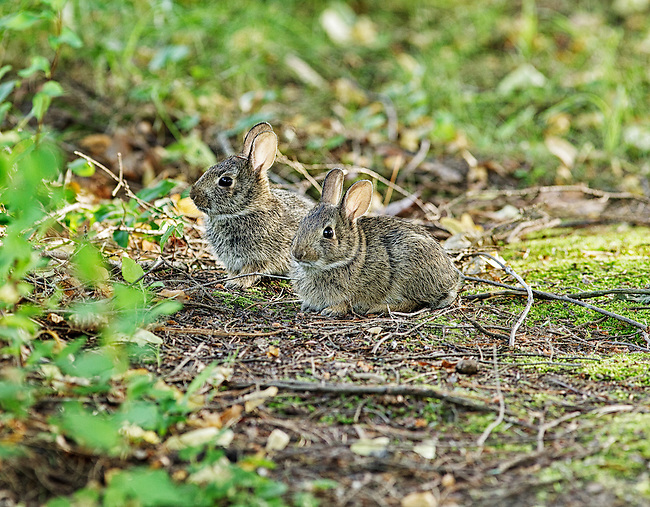 A pair of Eastern Cottontail bunnies.