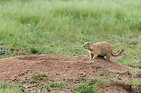 673010023 a wild black-tailed prairie dog cynomis ludovicianus in a small prairie dog town on empire ceienega natural conservation area pima county arizona