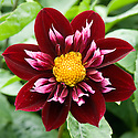 Dahlia 'Pat Knight', mid August.