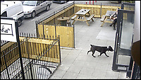 BNPS.co.uk (01202 558833)<br />Pic:   BuffaloBar/BNPS<br /> <br /> CCTV still image shows the dog entering the bar in Bournemouth.<br /> <br /> The shocking moment a thug rams his pet dog head-first into a fence and repeatedly punches it has been caught on CCTV.<br /> <br /> The yob owner became angry that the black pitbull-type dog ran off into the front garden of a bar.<br /> <br /> After catching up with the animal, the man grabbed it by the neck and slammed it into the wooden fence.