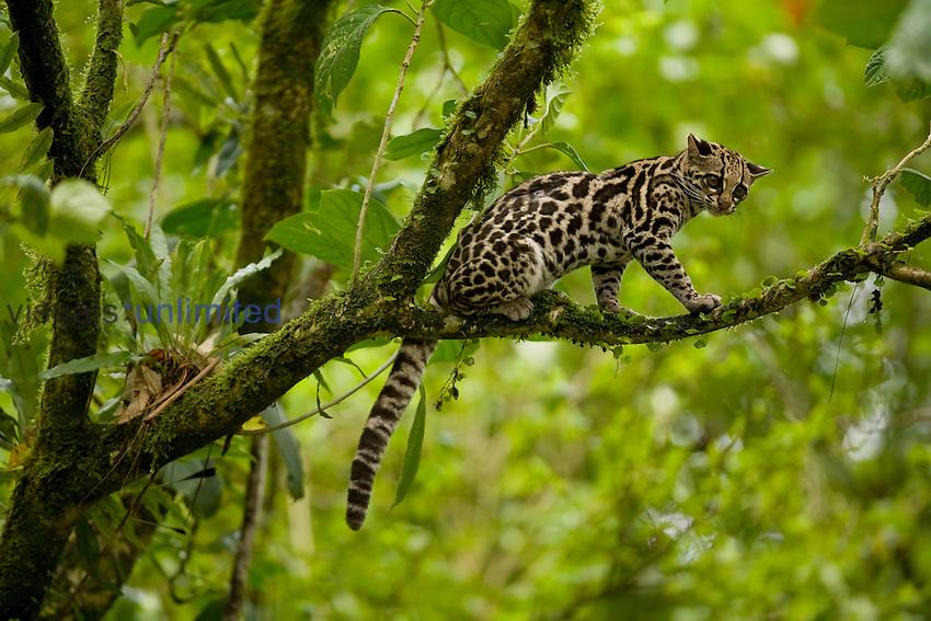 Margay Cat (Leopardus wiedii), Costa Rica.