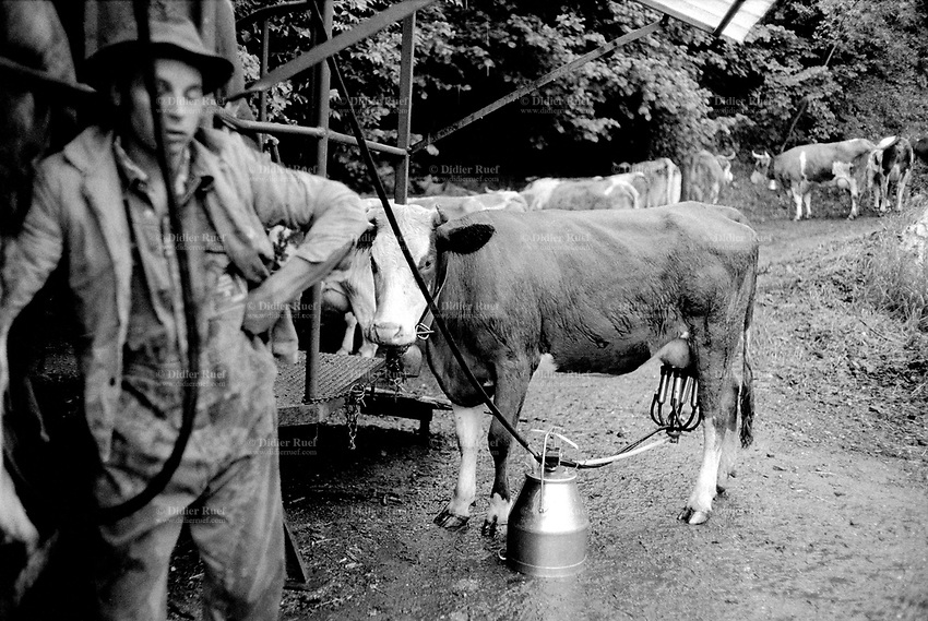 Switzerland. Canton Valais. Euseigne. Hèrens valley. Simmental Cattle. The man milks the cows, using a milking machine, in the late afternoon under the rain. A group of cows wait to be milked. Swiss alpine farmers. Alps mountains peasants.  © 1994 Didier Ruef