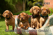 Bob, ANIMALS, REALISTISCHE TIERE, ANIMALES REALISTICOS, dogs, photos+++++,GBLA4321,#a#, EVERYDAY