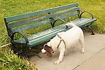 Castle Island. Fort Independence. Park bench with Springer Spaniel.