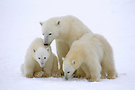 As yearlings not yet capable of defending themselves, twin polar bear cubs stay close to their mother's side in Wapusk National Park, Manitoba, Canada.