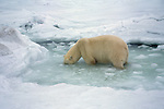 A polar bear stands in a hole in the ice.