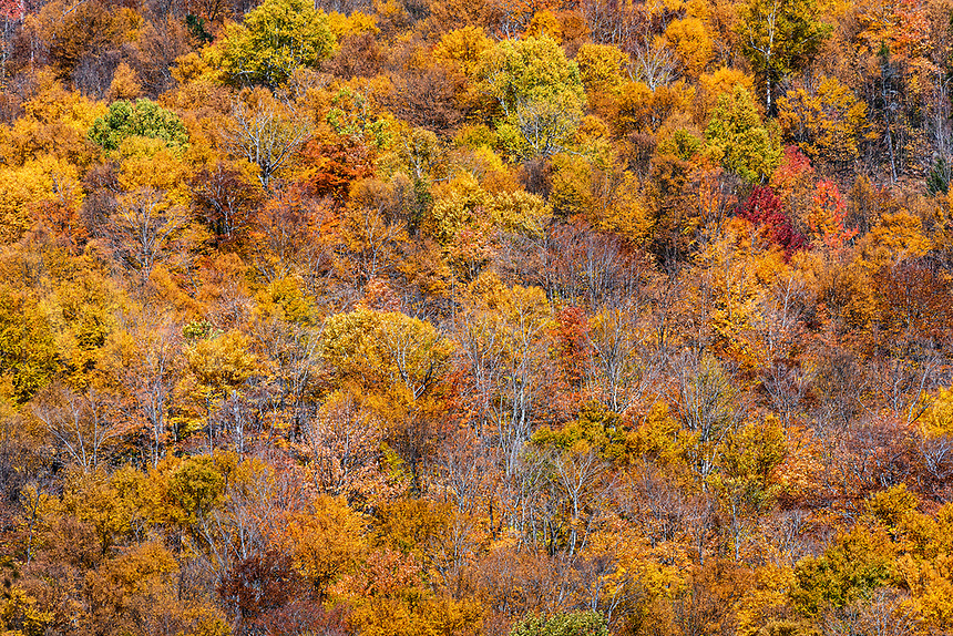 Forest trees in peak autumn color.
