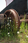 White daisies growing around old rusty train wheel