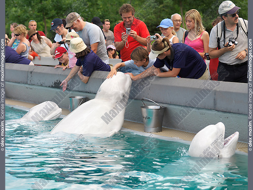 People feeding beluga whales at Marineland Niagara Falls Ontario Canada 2009