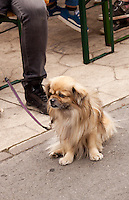 A little dog visiting the International Dog Show in Prague, May 2014. Sitting outside watching what is going on .