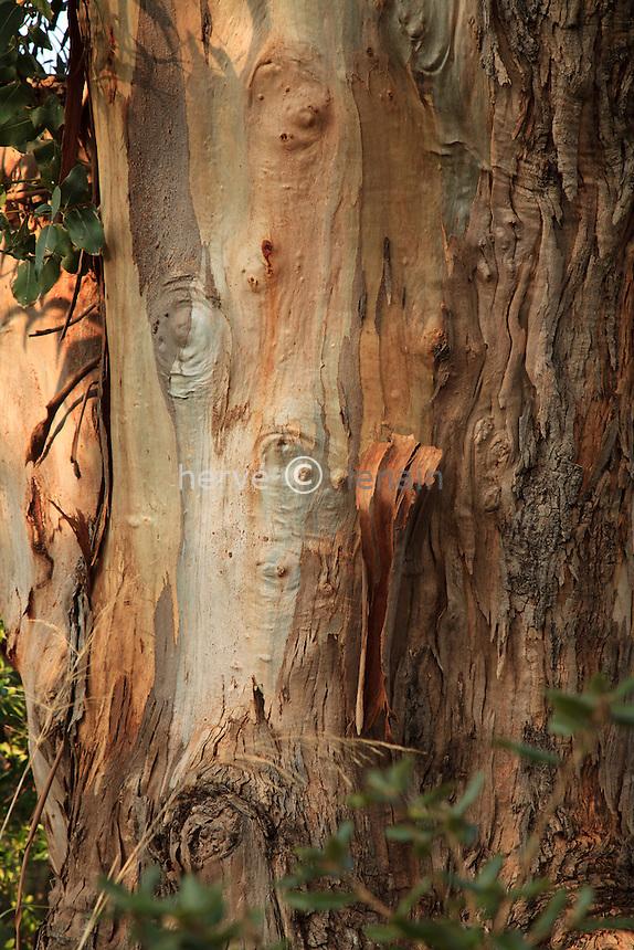 Le domaine du Rayol en f&eacute;vrier : Eucalyptus globulus = eucalyptus globuleux = gommier, &eacute;corce.<br /> <br /> (mention obligatoire du nom du jardin &amp; pas d'usage publicitaire sans autorisation pr&eacute;alable)