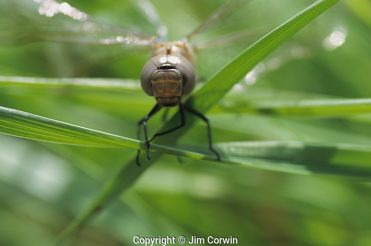 Dragonfly on a blade of grass by marsh close up Lake Pleasant Bothell Washington State USA