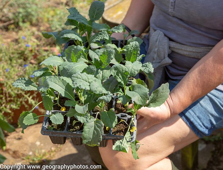 Woman holding seed tray of black kale plant seedlings, Brassica oleracea Lacinato,