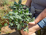 Woman holding seed tray of black kale plant seedlings, Brassica oleracea Lacinato,