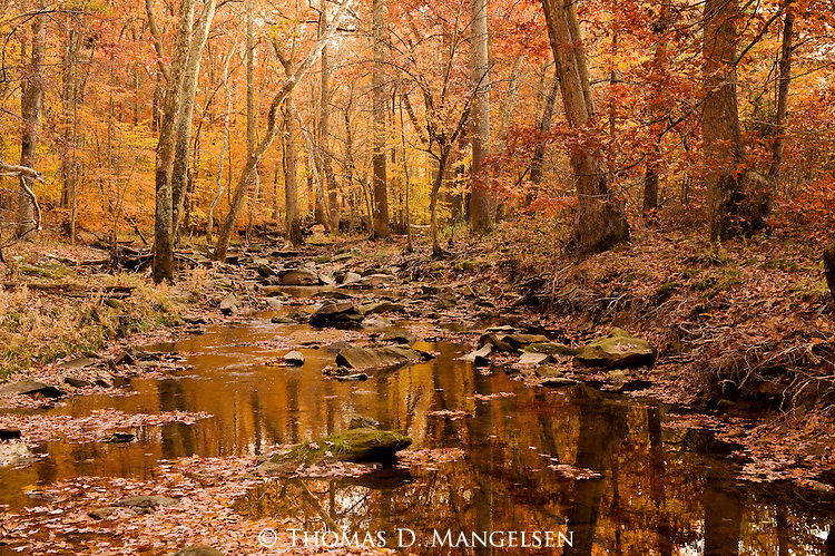 Fall color along a small stream in Northern Virginia.