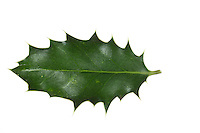 Stechpalme, Gewöhnliche Stechpalme, Europäische Stechpalme, Stech-Palme, Hülse, Ilex aquifolium, Common Holly, English holly, European holly, occasionally Christmas holly, Le Houx, Houx commun. Blatt, Blätter, leaf, leaves