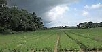 Field of carrots, Suffolk farming landscape scenery, East Anglia, England