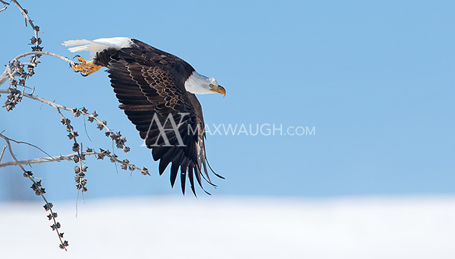 A bald eagle takes off in the Lamar Valley.