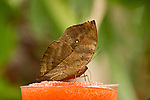 An Indian Leaf butterfly with probiscus fully extended dringking from a orange, nectar soaked sponge. In dorsal view, the camouflage as a dead leaf is totally apparent as is the bottom of the hindwing which is tapered like a leaf stalk.