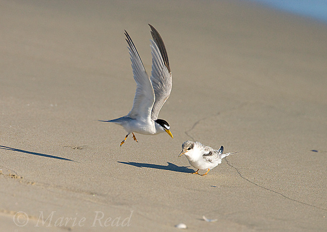 Least Tern (Sterna antillarum), endangered California race, adult taking flight from its fledgling, Huntington Beach, California, USA