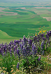 Lupines growing on the hillside overlooking the Palouse Valley in Washington in the spring