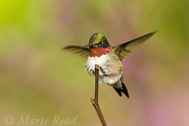 Ruby-throated Hummingbird (Archilochus colubris), male landing on perch in spring, New York, USA