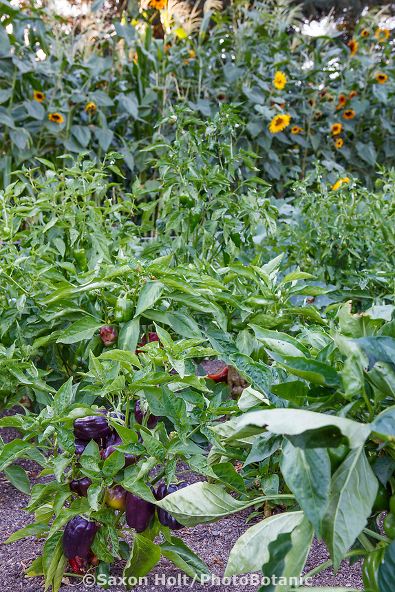 Bell Pepper 'Pinot Noir', (Capsicum annuum) in vegetable garden with sunflowers; Healdsburg Senior Living Center, California