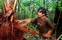 Índio Werekena, morador da comunidade de Anamoim no alto rio Xié, alisa as fibras da árvore de piaçaba (Leopoldínia píassaba Wall)antes de cortá-la. Representando um grande risco aos índios durante sua coleta . A fibra é um dos principais produtos geradores de renda na região é  coletada de forma rudimentar. Até hoje é utilizada na fabricação de cordas para embarcações, chapéus, artesanato e principalmente vassouras, que são vendidas em várias regiões do país.<br />Alto rio Xié, fronteira do Brasil com a Venezuela a cerca de 1.000Km oeste de Manaus.<br />06/06/2002.<br />©Foto: Paulo Santos/Interfoto<br />Negativo Cor Nº 8328 T4 F22 Expedição Werekena do Xié<br /> <br /> Os índios Baré e Werekena (ou Warekena) vivem principalmente ao longo do Rio Xié e alto curso do Rio Negro, para onde grande parte deles migrou compulsoriamente em razão do contato com os não-índios, cuja história foi marcada pela violência e a exploração do trabalho extrativista. Oriundos da família lingüística aruak, hoje falam uma língua franca, o nheengatu, difundida pelos carmelitas no período colonial. Integram a área cultural conhecida como Noroeste Amazônico. (ISA)