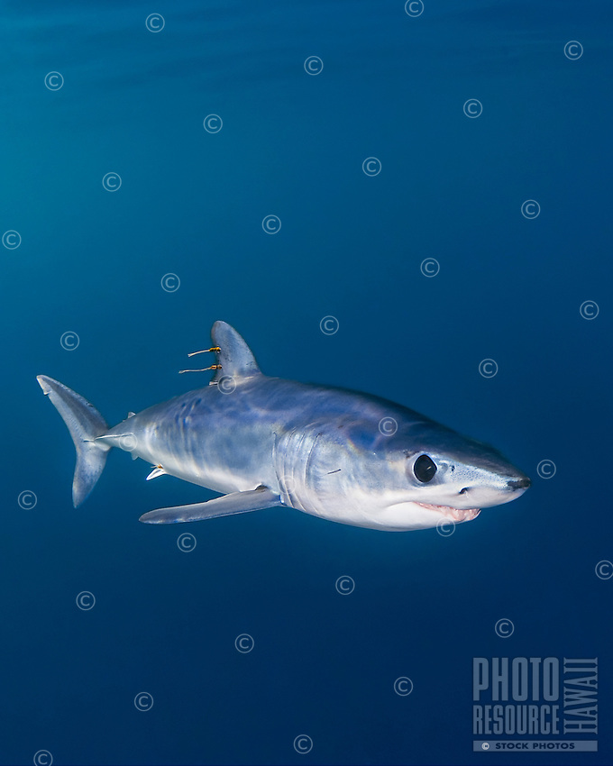A shortfin mako shark (Isurus oxyrinchus) with parasitic copepods; very aggressive and the fastest swimmer of all shark species, Pacific Ocean