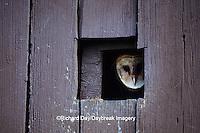 01110-00502 Common Barn-Owl (Tyto alba) looking out nest box in Barn  Prairie Ridge SNA Jasper Co.  IL