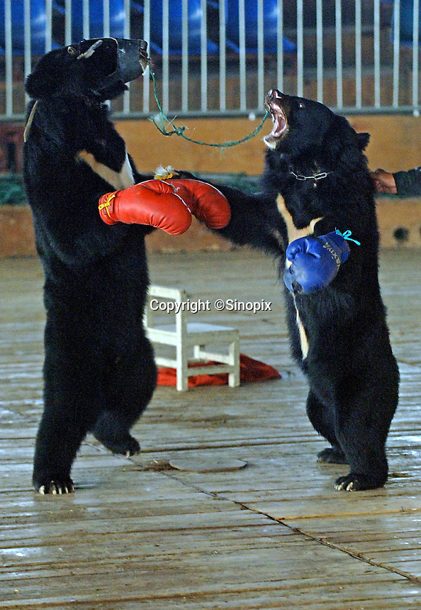 Asian brown bears, Hui Hui, wearing red gloves and Bei Bei train for a bizarre bear boxing spectacle held twice daily at a Chinese wildlife park that describes itself as a bear sanctuary in Guanxi Province, China. During the training sessions the bears are tied together by the nose so that they are unable to escape from one another. ..SINOPIX PHOTO