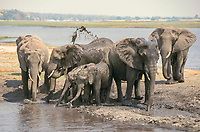 Group of African Bush or Savanna Elephants (Loxodonta africana) at the water's edge