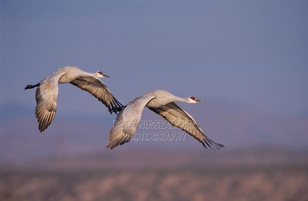 Sandhill Crane, Grus canadensis, adult and young in flight, Bosque del Apache National Wildlife Refuge , New Mexico, USA, December 2003