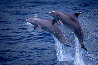 LEAPING BOTTLENOSE DOLPHIN, Tursiops truncatus