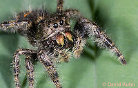 0116-1005  Bold Jumper, Phidippus audax  © David Kuhn/Dwight Kuhn Photography