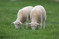 Easy care lambs grazing<br /> ©Tim Scrivener Photographer 07850 303986<br />      ....Covering Agriculture In The UK....