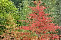 Black Gum Tree in autumn