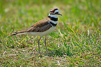 Unmistakable by it's red eye ring and black rings around the face and breast, this killdeer kept trying to get my attention on Bokeelia, Florida - an island on the southwest coast. This is typical behavior when trying to lure potential threats away from it's hidden nest that it builds on the ground.