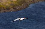 Elegant Tern, Exorcist Twist, Bolsa Chica Wildlife Refuge, Southern California