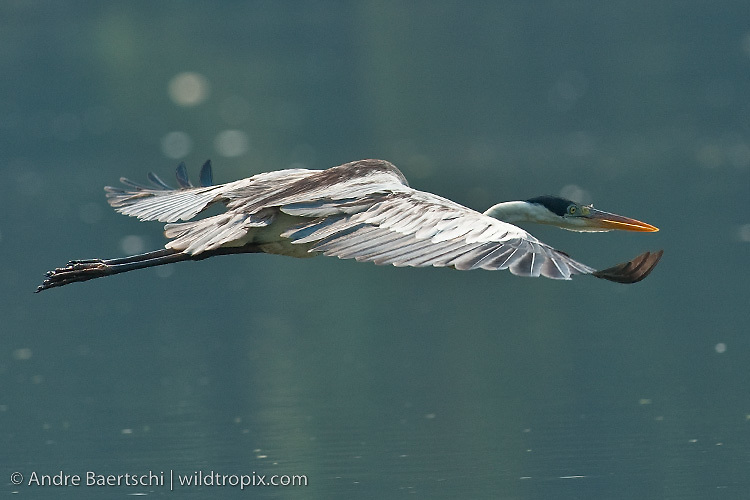 Cocoi Heron (Ardea cocoi) flying above an oxbow lake  in lowland tropical rainforest, Manu National Park, Madre de Dios, Peru.