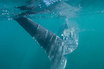 Bahia de los Angeles, Sea of Cortez, Baja California, Mexico; the tail of a small, juvenile Whale Shark (Rhincodon typus) feeding at the surface