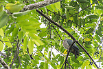 Tetepare Island, Solomon Islands; an Island Imperial-pigeon (Ducula pistrinaria) sitting high up in the trees on a branch