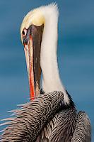 Close up of brown pelican (pelecanus occidentalis occidentalis) preening