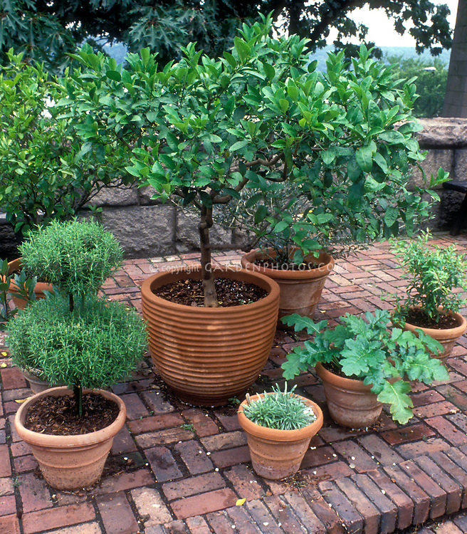 Herb Garden in pretty terracotta pot containers at The Cloisters rooftop medieval garden, NYC, topiary rosmarinus rosemary, garden bench, brick patio, Bay laurel, Laurus nobilis, acanthus, topiaries, pots, terracotta pots, Mediterranean plants