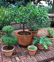 Herb Garden in pretty terracotta pot containers at The Cloisters rooftop medieval garden, NYC, topiary rosmarinus rosemary, garden bench, brick patio, Bay laurel, Laurus nobilis, acanthus, topiaries, pots, terracotta pots, Mediterranean plants