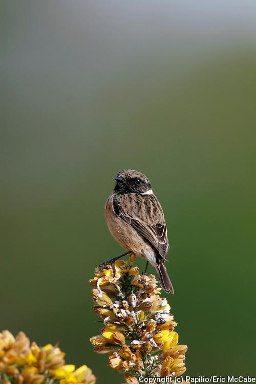 Male Stonechat, Saxicola torquata, on gorse bush in Perthshire<br /> nature<br /> wildlife<br /> british<br /> britain<br /> Scotland<br /> Male<br /> gorse<br /> heath<br /> bird<br /> Stonechat<br /> passerine<br /> breeding<br /> territory<br /> Saxicola torquata<br /> Saxicola