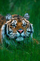 Portrait of a Siberian tiger (Panthera tigris).