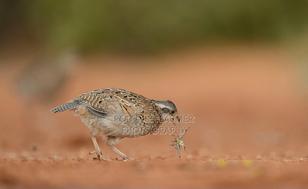 Northern Bobwhite (Colinus virginianus), young eating grasshopper prey, Rio Grande Valley, South Texas, Texas, USA