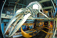 A skeleton of a Humpback Whale is one of a variety of historic displays at the Hawaii Maritime Museum located next to Honolulu Harbor near downtown Honolulu.